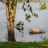 210914 Lake Ducks Enterprise<br /> James Neiss/staff photographer <br /> Sanborn, NY - A duck couple enjoy a lazy quiet morning listening to the quiet and soaking up the sunshine at Bond Lake.