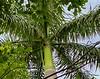 Royal Palm, Everglades National Park
