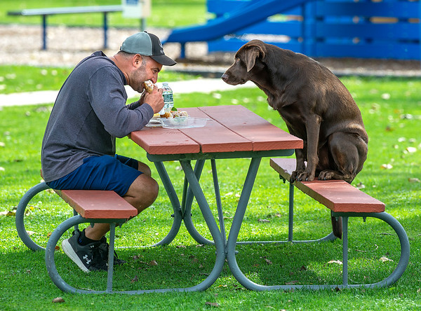 210915 Dog Picnic Enterprise<br /> James Neiss/staff photographer <br /> Pendleton, NY - Eye on the Prize - Steve Pecoraro of Pendleton and his Chocolate Lab Bell enjoyed a picnic lunch at West Canal Park & Marina… Or at least one of them did.