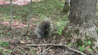 This porcupine walked right up to me before he looked up and saw me. This is a small baby porcupine.
