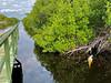Large alligator, Everglades National Park
