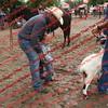 Ant-7 9 16-0-4 Goats - 00004