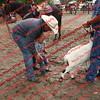 Ant-7 9 16-0-4 Goats - 00003