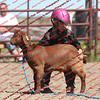BYR2016 Goats = 01471