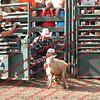 SLYR16-Sheep-00010