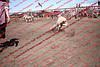 Towner 17 Perf 2 - Sheep - 00009