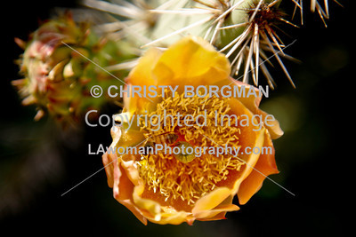 Bees on cactus flower