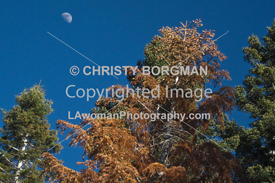 Trees and moon,  Lake Arrowhead