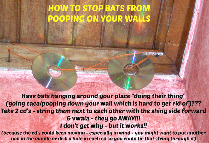 "Ahhh - life in Costa Rica!  Do you have bats hanging around your place ""doing their thing"" (going caca•pooping•shitting•feces) down your wall which is hard to get rid of???  BB (""Buff Boy"") - one of the workers where I used to live, rigged up this idea concept which REALLY WORKED with a BIG problem I was having with LOTS of bats pooping•shitting•feces•caca on the walls as their caca is SOOO HARD to get off the walls (and when you do it will chip at your paint)  •  Take 2 CD's  •  String them next to each other with the shiny side forward & wrap around 2 nails & vwala - they go AWAY!!!  (I don't get why - but it works!!)  Because the cd's could keep moving - especially in wind - you might want to put another nail in the middle or drill a hole in each cd so you could tie that string through it.  Here are some links to clean it up:  http://Wildlife-removal.com/cleanbatguano.html  @@@@@@@@@@@@@@@@@@<br>  http://LivingLifeInCostaRica.blogspot.com/2015/03/BatsGetRidOfCR.html"
