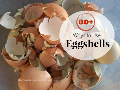 "//www.theprairiehomestead.com/2012/08/9-things-to-do-with-eggshells.html  To the majority of people, eggshells are simply trash.  But to homesteader, eggshells are a surprisingly useful resource. You know what they say… ""Waste not, want not.""  I personally get a big kick out of finding uses for things people normally throw away. So, I've put together a list of 9 Things You Can Do with Eggshells around your own homestead.  (Holy Moly! My list started out with a measly 9 ideas, but after all of my thrifty readers left their ideas in the comment section, it has grown to 30+! I've edited the list with these new additions- keep them coming folks!)      **It is very important to only use eggshells from healthy, natural chickens if you or your animals are going to ingest the shells. Eggs from factory farms are not only less nutritious, but can also carry harmful pathogens. I personally have no problem eating raw eggs from my own free-range hens, but I wouldn't do so with eggs from the store.**  1. Feed them to your chickens.  Boost your flock's calcium intake by crushing the shells and feeding them back to your hens. My girls much prefer crushed egg shells over the oyster shell supplement from the feed store. I wrote a post a while back that has all the details of collecting, crushing, and feeding the shells. 2. Use the shell's membrane as an all-natural bandage.  I just discovered this idea, so I have yet to try it, but what a cool concept! The membrane of the shell is reported to help promote healing in cuts and scratches. This post should be able to answer most of your questions about using membranes as a first-aid tool. 3. Boil the shells in your coffee.  My first thought when I read this idea was ""Why on earth would you do that?"" But apparently, people have been boiling eggshells in their coffe for centuries to help clarify the grounds and reduce bitterness. I have yet to give this a try myself, but it might be worth a try. Here is a Boiled Eggshell Coffee tutorial. 4. Sprinkle the shells around your garden to deter pests.  Soft-bodied critters like slugs or snails don't like crawling over sharp pieces of shell. 5. Give your tomatoes a calcium boost.  Blossom-end rot is a common tomato problem, but I recently learned that it is actually caused by a calcium deficiency in the plant. Experienced gardeners often place eggshells in the bottom of the hole when transplanting their tomato plants to help combat this problem. I'm definitely trying this next year! For more natural gardening tips, grab a copy of my latest eBook, Natural Homestead. It has dozens of recipes to keep your garden chemical-free. 6. Eat them.  Yeah, I know. First I told you to eat your weeds, and now I'm saying to eat eggshells… Hey, I never claimed to be normal. ;)  But yes, many folks actually do eat eggshells for their awesome amounts of calcium.  I've never actually tried it, but I know that several of my readers have. This post will give you all the info you need to make your own calcium-rich eggshell powder. 7. Use them to start seedlings.  If homemade paper pots aren't your style, give some of your smaller seedlings a start in rinsed-out shells. This post from Apartment Therapy will give you all the info and photos you need to get you started. 8. Toss them in the compost pile.  Add calcium to your compost by adding shells to your pile or tumbler. 9. Sow directly into the soil.  If none of the previous idea sound appealing and you don't have a compost pile, then you can simply turn crushed shells directly into your garden patch. It's still better than sending them to the garbage. All of the following ideas were submitted by readers of The Prairie Homestead:  10. Potting Soil Addition: Used coffee grounds and egg shells are wonderful in potted plants. I use a 1:4 ratio. (From Tala)  11. Blade Sharpening: Keep them in the freezer and use to clean and sharpen blender blades by adding water. Then pour the mixture into your compost bin. (From Greenie and Ceridwyn)  12. Canine Remedy: I save mine and let them dry out, when I have a good size amount I crush them, then use a coffee grinder and make them into a powder. If one of my dogs get diarrhea, I just sprinkle a couple teaspoons of the powder on their food for a day and the diarrhea goes away. (From Terri)  13. Calcium Pills: I save my eggshells in a large bowl, then I steam them to sanitize them and let them dry. Then I grind them down (I use a vitamix but I think any blender would do if you crush them a little first, or just do it in a coffee grinder) into a fine powder and spoon them into 00 gelatin capsules for homemade calcium pills. (From Mari)  14. Mineral supplement: I sometimes soak egg shells in lemon water for a few weeks in the fridge. Then I add a tiny bit to my shakes to get extra minerals. (From Jill)  15. Tooth Remineralizing: Natural News.com has an article about using comfrey root & fresh egg shell (organic & pasture raised) for re-mineralizing your teeth.  Not sure about this particular method, but it would make sense due to the healing properties of the comfrey AND the minerals in the egg shell.  (From Jennifer)  16. Sidewalk chalk: 5-8 egg shells (finely ground), 1 tsp hot water, 1 tsp flour, food coloring optional…mix and pack into toilet tissue rolls and let dry. (From Linda)   17. First Aid Treatment: Fresh egg membranes applied, then allowed to dry, will ""draw"" minor infections: splinter, pimple, boil, etc. (From Anne)  18. Making Water Kefir: You can also use egg shell to nourish your water kefir grains.  You just add 1/4 of a clean egg shell to your water kefir while it's brewing.  We've done this instead of buying mineral drops and it seems to work great. (From Jenna, Sherry, and Tiffani)  19. Christmas Ornaments: When I found a large cache of slightly-flawed plastic suncatcher ornaments to paint cheap at the local flea market a few years ago, I snatched a big bunch of them up.  I mixed regular acrylic colors with Elmer's glue and various ""texturizing"" elements to pack those suncatchers with.  I tried everything from small seeds and spices, to sifted sand, and my favorite turned out to be crushed egg shells.  They were no longer transparent, but the flaws were covered, and they make very nice Christmas tree ornaments, wall hangings, mobiles, etc.  (From Sweetp)  20. Make Calcium Citrate: Make your own calcium citrate using only fresh farm raised, preferably organic, egg shells.  Rinse residual egg out of the shells and air dry. Crush the shell and add 1t. lemon juice per egg shell and cover.  The lemon juice will dissolve the shell and there you have it… calcium citrate. (From Mary Anne)  21. Calcium-Rich Vinegar: I was taught by my herbalist teacher to make a calcium rich vinegar by adding calcium rich herbs (nettles, dock, etc) and one clean high quality eggshell to apple cider vinegar.  It needs to infuse for at least six weeks, then be decanted.  But the calcium from the shell and the plants goes into the vinegar and can be used as regular vinegar would be in salad dressing, over cooked greens, etc.  (From Sara)  22. Pan Scrubber: Crushed egg shells work great to scrub pans that have food stuck in them. Yes they will break up, but they still do the job! (From Rose)  23. Ice Cream Addition (?): I was told companies put egg shell powder in cheap ice cream to add extra calcium.  I imagine you could do this when making homemade ice cream as well. (From Brenda)  24. Cosmestic Booster: Make it into a powder and add a little bit to your nail polish to strengthen nails. Take that same powder and put it into ice cube trays with water and rub it on your face– it helps reduce the look of wrinkles. Put the powder in your lotion– it softens your hands. (From Amy)  25. Add to Broth/Stocks: For extra calcium and minerals. (From Becky and Tiffani) (Get my homemade stock/broth tutorial here.)  26. Arts and Crafts: Use to make mosaics or mixed-media art projects. (From Carol and Janet)  27. House Plant Booster: ""My Grandmother kept eggshells covered with water in a mason jar which she used to water her African violets. She had the most magnificent plants imaginable!"" (From Cynthia)  28. Wild Bird Treat: You can also feed them to the birds. They're high in calcium and are great for birds in the spring when they are laying eggs– just make sure to sterilize them. Bake them in the oven for 20 minutes at 250 F and crush them. (From Susanne)  29. Laundry Whitener: To help your whites not to turn greyish, put a handful of clean and broken down eggshells and 2 slices of lemon in a little cheesecloth bag with your clothes in the washer. It will prevent the soap deposit that turns the white clothes grey. (From Emilie)  30. Garbage Disposal Cleaner: Toss a few shells down your disposal to help freshen things up. (From Carol) (Okay– since originally posting this, I've had several folks say this is a bad idea and that it will clog your drain– so proceed with caution…) - See more at: http://www.theprairiehomestead.com/2012/08/9-things-to-do-with-eggshells.html#sthash.RsBR9jK3.dpuf"
