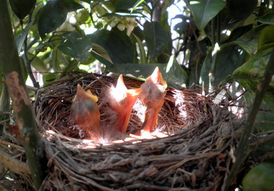 Tres pájaros de cuidado. Nuevas vidas nacen en un naranjo de la huerta murciana en primavera.  Autor:Ana Victoria García Ruiz