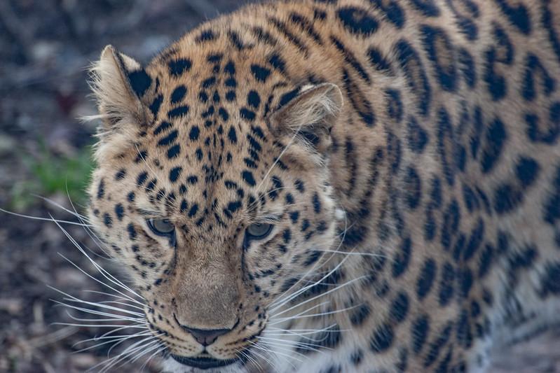 Amur Leopard, Animals, Big Cat, Leopard, Marwell Zoo - 20/02/2005