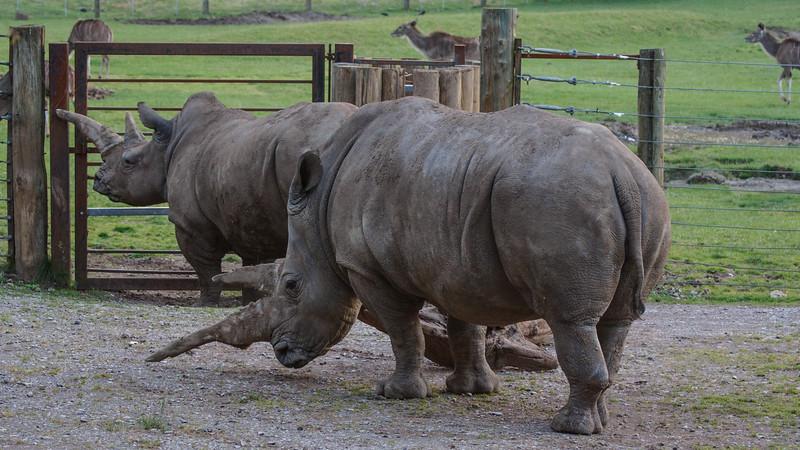 Animals, Marwell Zoo, White Rhinoceros - 12/06/2008