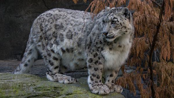 Animals, Big Cat, Leopard, Marwell Zoo, Snow Leopard - 12/06/2008
