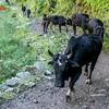 20 วัน เทรคกิ้ง Manaslu Circuit & Tsum Valley เนปาล จาก Jagat ไป Chumling