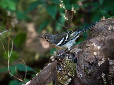 Common Chaffinch (female) / Pinzón Vulgar (hembra)