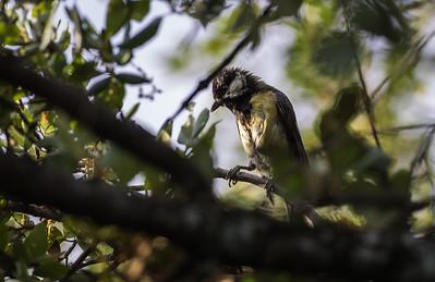 Great Tit (female) / Carbonero Común (hembra)