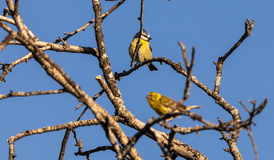 Common Blue Tit and European Serin (male) / Herrerillo comun y Serin Verdecillo (macho)