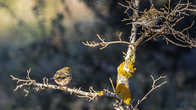 European Serin (couple) / Serin Verdecillo (pareja)