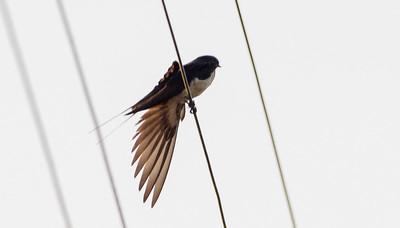 Barn Swallow / Golondrina Comun