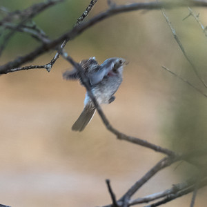 Woodchat Shrike (young) / Alcaudon Comun (joven)