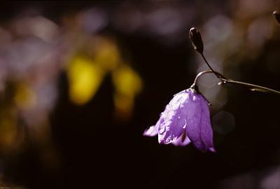 Bluebell (aka Harebell) Campanula rotundifolia