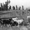"""Hori Ranch - 1915<br /> M.M. """"Swede"""" Hori an early Whitefish Rancher/Farmer became one of the most productive <br /> early citizens in Flathead Valley.<br /> <br /> R.E.Marble - Photo<br />           MA-0157"""