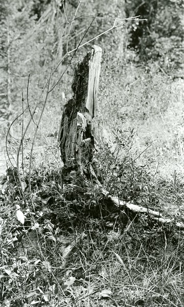 Ferde Greene Photo, 8/16/1936, Stump for winching wagons over the old road at Bad Rock