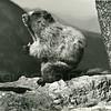 Whistling Marmot<br /> 14-41B
