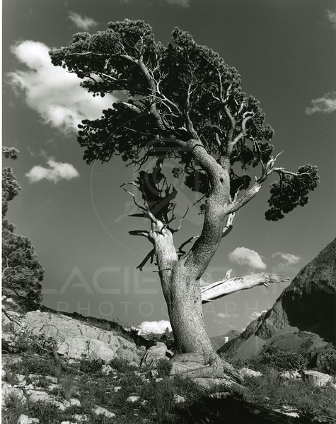 Limber Pine<br /> Lacy Photo<br /> L5000