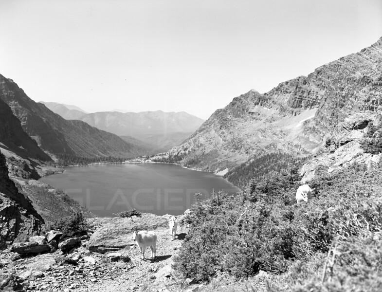 Gunsight Pass Mountain Goats