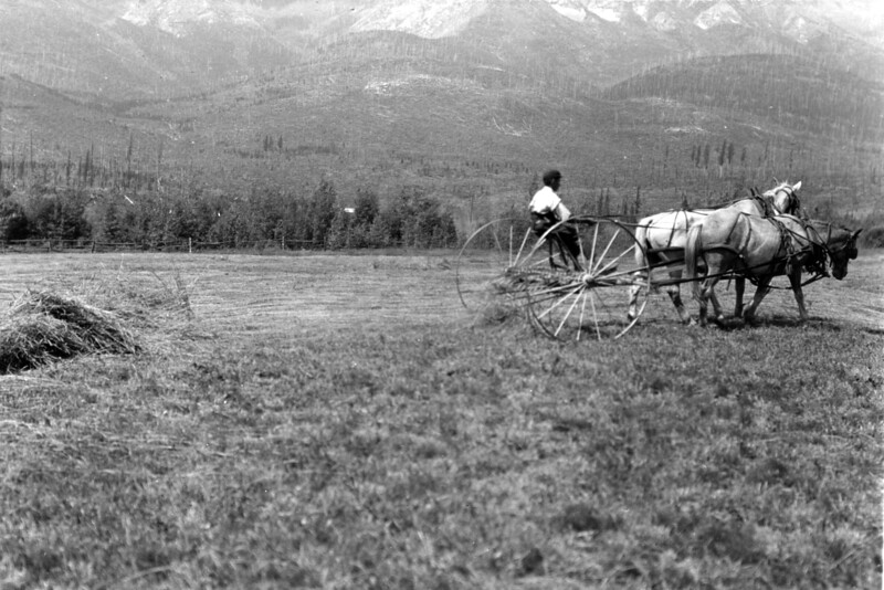 Ferde Greene Photo<br /> 1914 Raking hay in Michel BC<br /> 3180