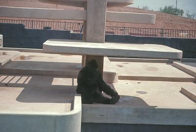 Ape At Pheonix Zoo, Pheonix, AZ, August 1971