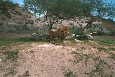 Lion At Pheonix Zoo, Pheonix, AZ, August 1971