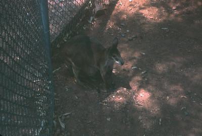 Kangaroo, Pheonix, AZ, August 1971