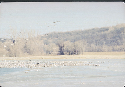 Geese At Iatan, Kansas City, MO,  December, 1985