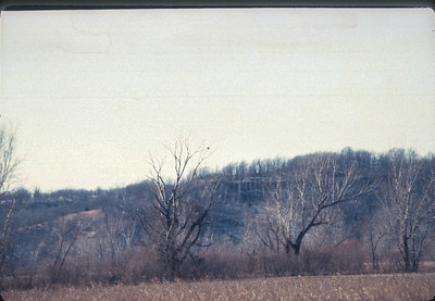 Bald Eagles In Trees At Iatan, Kansas City, MO,  December, 1985