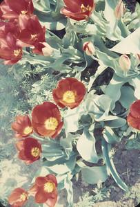 Flowers, Platte City, MO, April 1962