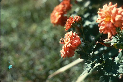 Flowers With Bee In Backyard, Platte City, MO, Fall, 1973