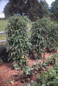 Dad's  [Worthy] Tomato Vines, Vacation, July 1967