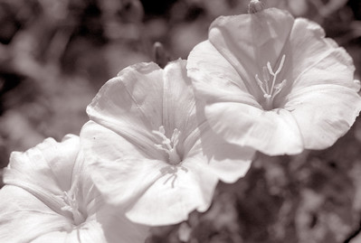 Triad of Bindweed Blossoms