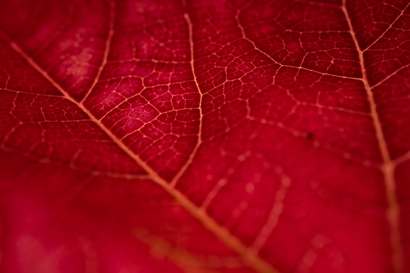 Červený makro list / Red macro leaf