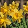 More Daffodils