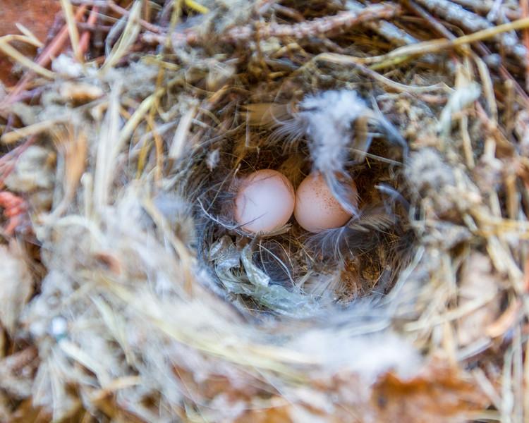 Bewick's Wren nest