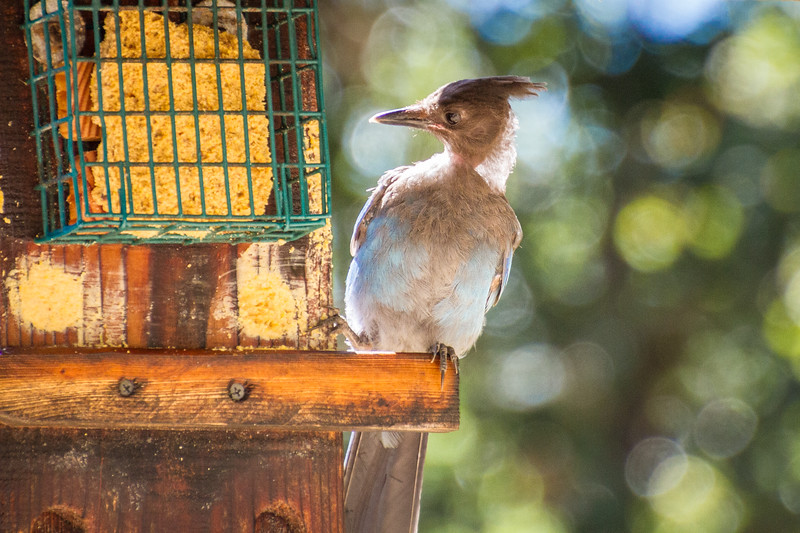Young Steller's Jay