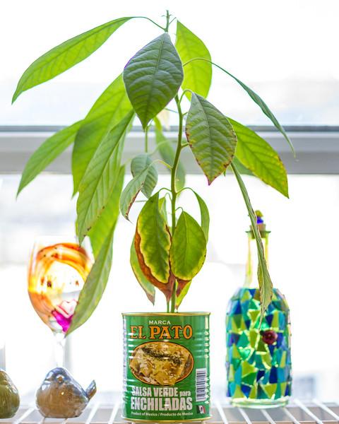 Baby avocado tree