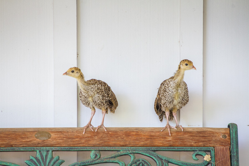Poults on the porch