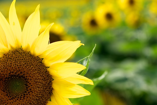 A quarter of a sunflower fans out its petals from the bottom left of the frame while the rest of the scene blurs into beautiful yellow and green bokeh.