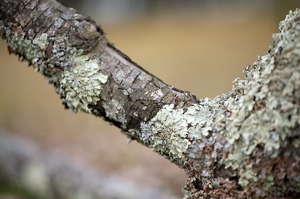 A dead tree branch filled with white lichen fills the frame with a blurred grassy background.