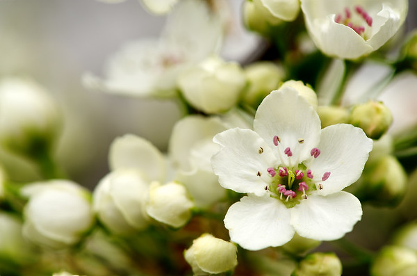 An Apple Blossom tree flower close up.